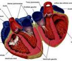 Une nouvelle classe pharmacologique pour l'insuffisance cardiaque chronique