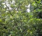 Une plante chilienne efficace contre les bactéries multirésistantes