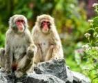 Vaccin anti-COVID-19 : Une immunité naturelle prometteuse chez le macaque