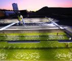 Vers la production massive de biocarburants à partir d'algues